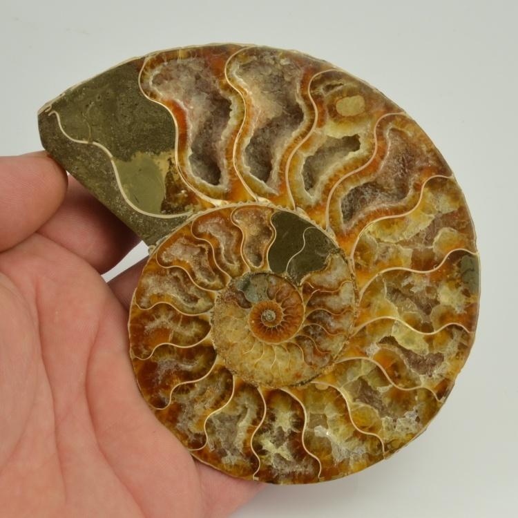 amonit Cleoniceras sp. Madagaskar
