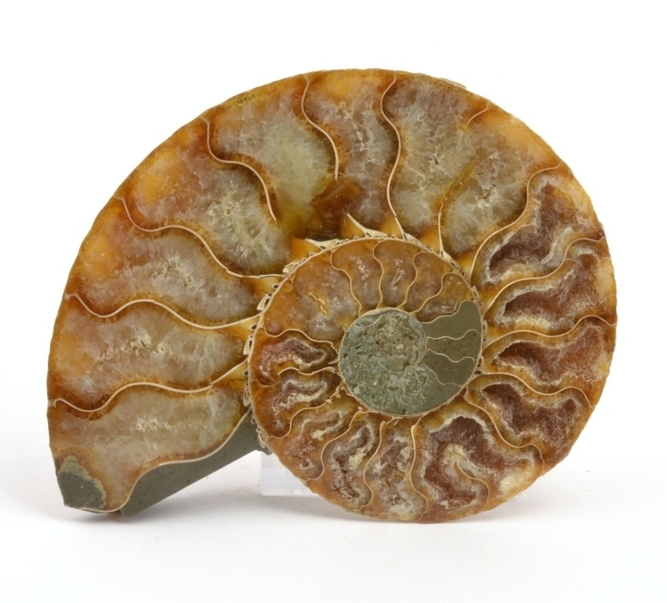 amonit Cleoniceras Madagaskar 11 cm