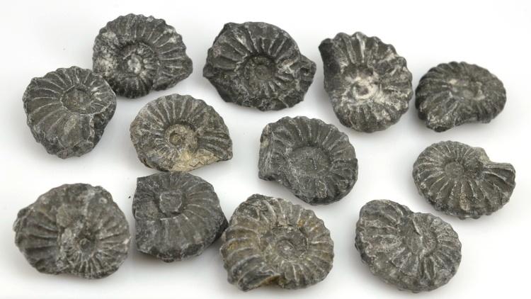 amonit Asteroceras sp. Peru 3-4cm