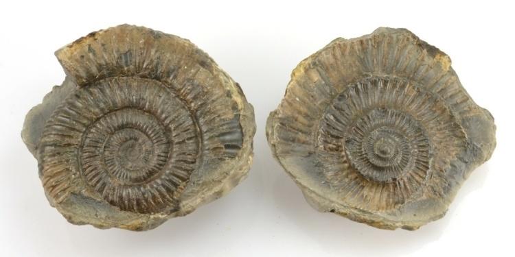 amonit Dactylioceras commune Anglie 7cm