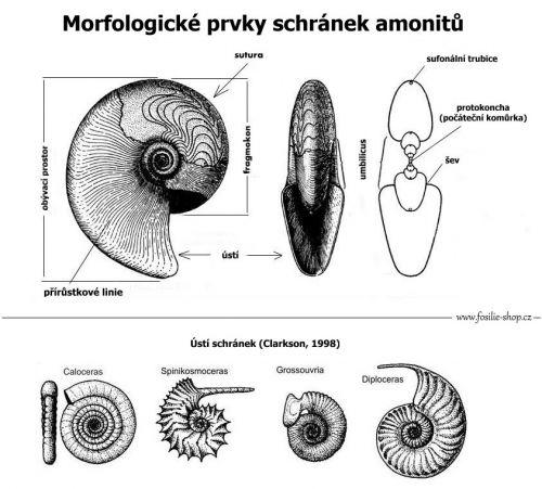 Popis amonitů
