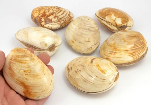 Zkamenělé mušle Madagaskar