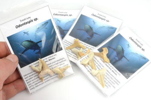 Žraločí zuby Odontaspis sp.