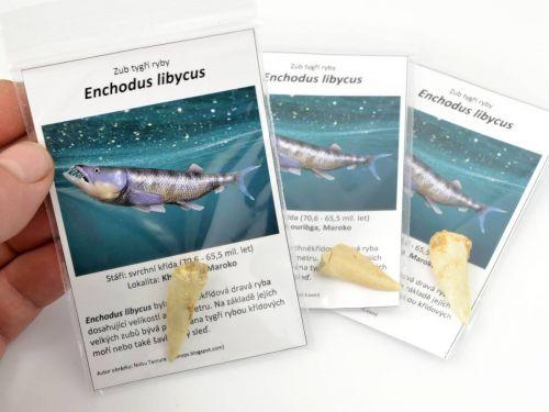 Zub tygří ryby, Enchodus libycus