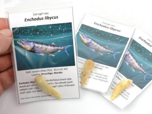 Zub fosilní tygří ryby - Enchodus libycus