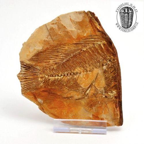 Vzorek zkamenělé ryby z České republiky
